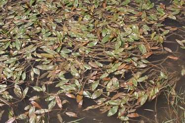 Loddon pondweed in water Species in habitat shot,Leaves,Freshwater,Mature form,Habitat,Alismatales,Monocots,Liliopsida,Magnoliophyta,Flowering Plants,Potamogetonaceae,Streams and rivers,IUCN Red List,Tracheophyta,Temporary wa