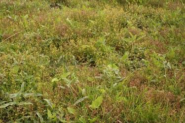 Bog yellowcress in habitat Flower,Leaves,Habitat,Mature form,Species in habitat shot,Magnoliophyta,Flowering Plants,Brassicaceae,Mustard Family,Magnoliopsida,Dicots,Brassicales,Terrestrial,Asia,Europe,South America,Rorippa,Afri
