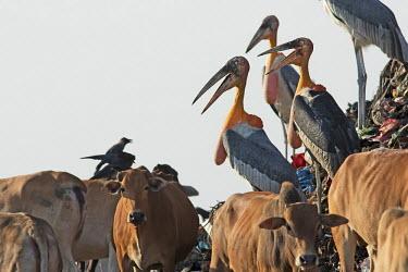 Greater adjunat storks foraging in the guwahati dumping ground of Assam, India stork,storks,bird,birds,birdlife eye,eyes,throat,neck,bill,yellow,waste,habitat,human impact,land management,litter,rubbish,environment,scavenge,habitat loss,cattle,cows,cow,livestock,negative space,l