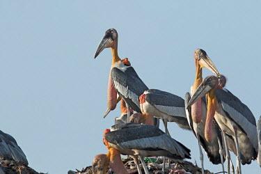 Greater adjunat storks foraging in the guwahati dumping ground of Assam, India stork,storks,bird,birds,birdlife eye,eyes,throat,neck,bill,yellow,waste,habitat,human impact,land management,litter,rubbish,environment,scavenge,negative space,landfill,landfill site,conservation issu
