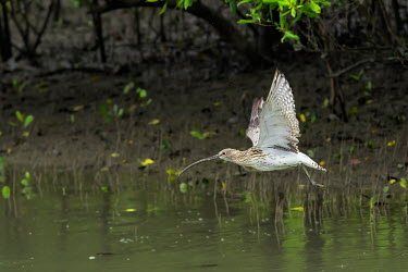 Eurrasian curlew flying in the mangrove forest of Sundarban tiger reserve, India curlew,fly,flying,flight,bill,wing,wings,mangrove,mangroves,wader,waders,speckled,bird,birds,birdlife,mangrove forest,Eurasian curlew,Numenius arquata,Charadriiformes,Shorebirds and Terns,Chordates,Ch