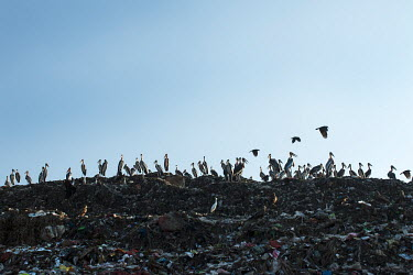 A colony of greater adjutant stork in the dumping ground of Assam, India stork,storks,bird,birds,birdlife,waste,habitat,human impact,land management,litter,rubbish,environment,scavenge,habitat loss,sad,negative space,landfill,landfill site,conservation issue,Greater adjuta