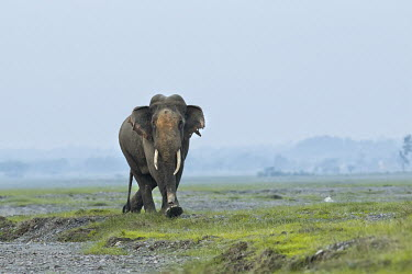 Asian elephant walking across grassland mastodon,mastodons,mammoth,mammoths,elephant,elephants,trunk,trunks,herbivores,herbivore,vertebrate,mammal,mammals,terrestrial,Asia,Asian,India,Indian,Indian elephant,Asiatic elephant,tusk,tusks,lands