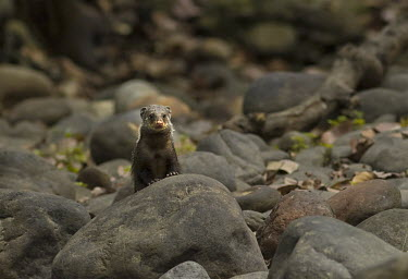 A crab-eating mongoose looking onward along a dried river bed mammal,mammals,vertebrate,vertebrates,terrestrial,fur,furry,mongoose,looking at camera,pebbles,rocks,river bed,shallow focus,negative space,snout,nose,Feliformia,Asia,India,Crab-eating mongoose,Herpes