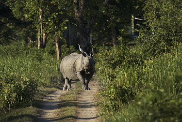An Indian rhinoceros walking down a trail with a great white egret on tis back rhinos,rhino,horn,horns,herbivores,herbivore,vertebrate,mammal,mammals,terrestrial,Asia,Asian,India,Indian,Indian rhino,forest,forests,track,trail,armour,armoured,hitch hiker,egret,great egret,great w