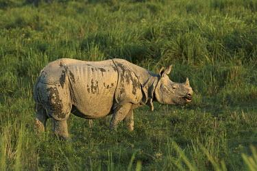 An Indian rhinoceros grazing in a field rhinos,rhino,horn,horns,herbivores,herbivore,vertebrate,mammal,mammals,terrestrial,Asia,Asian,India,Indian,Indian rhino,forest,forests,track,trail,armour,armoured,grass,grassland,negative space,green