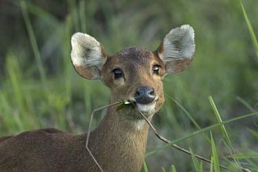 A hog deer caught chewing on vegetation herbivores,herbivore,vertebrate,mammal,mammals,terrestrial,ungulate,deer,deers,ruminant,ear,ears,face,eating,feeding,grazing,chewing,chew,graze,grazer,nose,snout,cute,bambi,Asia,India,shallow focus,cl