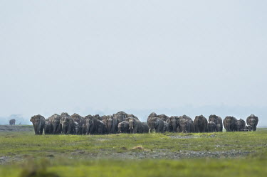A large herd of Asian elephant making their way across the grassland Avijan Saha mastodon,mastodons,mammoth,mammoths,elephant,elephants,trunk,trunks,herbivores,herbivore,vertebrate,mammal,mammals,terrestrial,Asia,Asian,India,Indian,Indian elephant,Asiatic elephant,tusk,tusks,landscape,grassland,negative space,herd,herds,mass,group,family,Asian elephant,Elephas maximus,Mammalia,Mammals,Elephants,Elephantidae,Chordates,Chordata,Elephants, Mammoths, Mastodons,Proboscidea,Animalia,Scrub,Elephas,Terrestrial,Appendix I,Endangered,Herbivorous,Grassland,maximus,Tropical,IUCN Red List