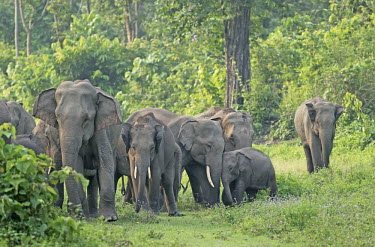 A herd of Asian elephant roaming along the edge of a forest mastodon,mastodons,mammoth,mammoths,elephant,elephants,trunk,trunks,herbivores,herbivore,vertebrate,mammal,mammals,terrestrial,Asia,Asian,India,Indian,Indian elephant,Asiatic elephant,tusk,tusks,fores