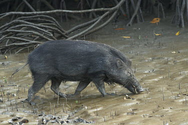 A wild boar making its way through a muddy mangrove Sus scrofa cristatus,Indian wild boar,mangrove,mangroves,propagules,mud,muddy,dirt,dirty,mammal,mammals,vertebrate,vertebrates,terrestrial,India,Asia,boar,swine,pig,wild pig,suid,ungulate,Wild boar,Su
