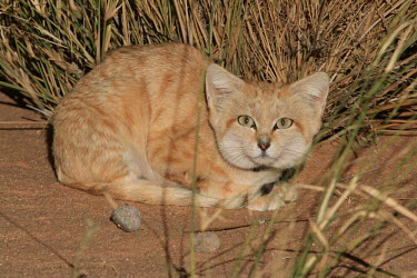 Sand cat sat in desert grass cat,cats,feline,felidae,predator,carnivore,wild cat,desert,desert cat,eyes,sand,ears,face,close up,small cats,Sand cat,Felis margarita,Chordates,Chordata,Mammalia,Mammals,Felidae,Cats,Carnivores,Carni
