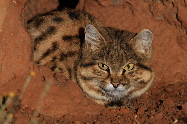Close up of a black-footed cat sitting in a rock den cat,cats,feline,felidae,predator,carnivore,wild cat,desert,desert cat,eyes,sand,ears,face,close up,small cats,Black-footed cat,Felis nigripes,Carnivores,Carnivora,Mammalia,Mammals,Chordates,Chordata,F