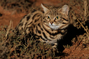 Black-footed cat in desert shrub cat,cats,feline,felidae,predator,carnivore,wild cat,desert,desert cat,eyes,sand,ears,face,close up,small cats,Black-footed cat,Felis nigripes,Carnivores,Carnivora,Mammalia,Mammals,Chordates,Chordata,F