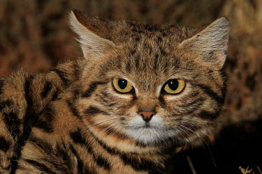 Close up of a black-footed cat cat,cats,feline,felidae,predator,carnivore,wild cat,desert,desert cat,eyes,sand,ears,face,close up,small cats,Black-footed cat,Felis nigripes,Carnivores,Carnivora,Mammalia,Mammals,Chordates,Chordata,F
