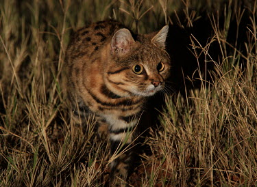 Black-footed cat stalking something in the grass cat,cats,feline,felidae,predator,carnivore,wild cat,desert,desert cat,eyes,ears,face,close up,nocturnal,small cats,Black-footed cat,Felis nigripes,Carnivores,Carnivora,Mammalia,Mammals,Chordates,Chord