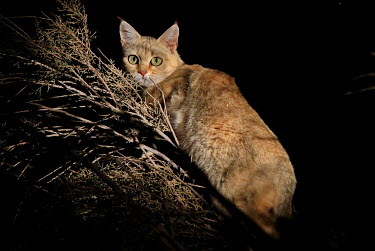 A wildcat in a tree at night cat,cats,feline,felidae,predator,carnivore,wild cat,eyes,ears,face,close up,stalk,stalking,hunt,hunting,nocturnal,negative space,night,black,small cats,Wildcat,Felis silvestris,Chordates,Chordata,Mamm