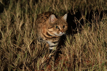 Black-footed cat stalking something in the grass cat,cats,feline,felidae,predator,carnivore,wild cat,desert,desert cat,eyes,ears,face,close up,stalk,stalking,hunt,hunting,nocturnal,small cats,Black-footed cat,Felis nigripes,Carnivores,Carnivora,Mamm