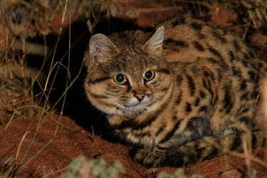 Black-footed cat startled by camera flash cat,cats,feline,felidae,predator,carnivore,wild cat,desert,desert cat,eyes,sand,ears,face,close up,small cats,Black-footed cat,Felis nigripes,Carnivores,Carnivora,Mammalia,Mammals,Chordates,Chordata,F