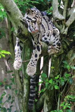 A clouded leopard hanging over a tree branch, relaxing cat,cats,feline,felidae,predator,carnivore,wild cat,eyes,face,close up,coat,fur,furry,whiskers,paws,leopard,arboreal,hanging,chill,relax,relaxed,pattern,patterned,camouflage,forest,forests,small cats,