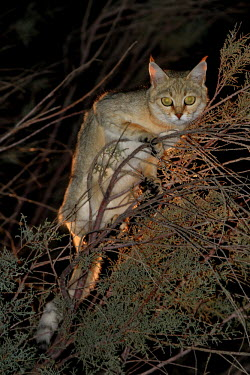 A wildcat in a tree at night cat,cats,feline,felidae,predator,carnivore,wild cat,eyes,ears,face,close up,stalk,stalking,hunt,hunting,nocturnal,night,small cats,Wildcat,Felis silvestris,Chordates,Chordata,Mammalia,Mammals,Carnivor