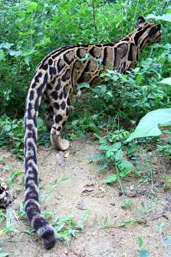 Clouded leopard prowling forest floor cat,cats,feline,felidae,predator,carnivore,wild cat,close up,coat,fur,furry,leopard,pattern,patterned,camouflage,forest,forests,back,tail,small cats,Clouded leopard,Neofelis nebulosa,Chordates,Chordat