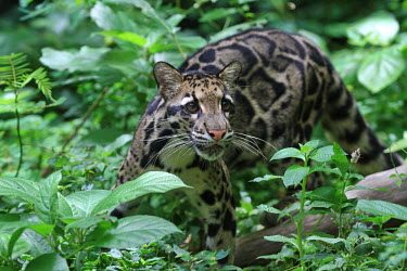 Clouded leopard prowling forest floor cat,cats,feline,felidae,predator,carnivore,wild cat,eyes,face,close up,coat,fur,furry,whiskers,leopard,pattern,patterned,camouflage,forest,forests,profile,hunting,hunt,foliage,vegetation,green backgro