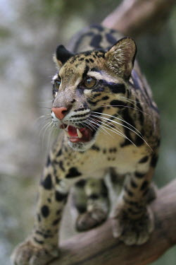 Clouded leopard poised on a branch cat,cats,feline,felidae,predator,carnivore,wild cat,eyes,face,close up,coat,fur,furry,whiskers,leopard,pattern,patterned,profile,shallow focus,negative space,nose,snout,mouth,jaw,teeth,tooth,small cat