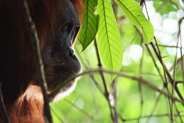 Face of an of adult orangutan in a tree face,adult,close up,canopy,shallow focus,eyes,orangutan,ape,great ape,apes,great apes,primate,primates,jungle,jungles,forest,forests,rainforest,hominidae,hominids,hominid,Asia,Sumatra,Sumatran,Indones