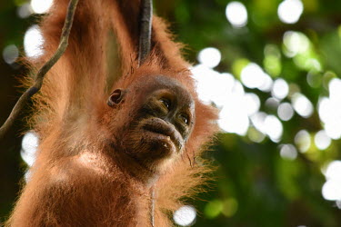 A baby orangutan hanging from a branch baby,young,juvenile,hanging,hairy,negative space,bokeh,cute,face,close up,canopy,shallow focus,eyes,orangutan,ape,great ape,apes,great apes,primate,primates,jungle,jungles,forest,forests,rainforest,ho