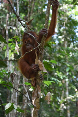 A baby orangutan climbing a tree baby,young,juvenile,hanging,hairy,negative space,bokeh,cute,innocent,face,close up,canopy,climb,climbing,shallow focus,eyes,orangutan,ape,great ape,apes,great apes,primate,primates,jungle,jungles,fore