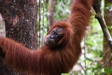 An orangutan hanging between trees showing its draping arm hair face,looking at camera,coat,arms,adult,close up,canopy,shallow focus,eyes,orangutan,ape,great ape,apes,great apes,primate,primates,jungle,jungles,forest,forests,rainforest,hominidae,hominids,hominid,A