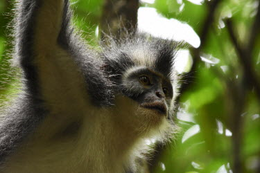Face of a Northern Sumatran leaf monkey in a tree leaf monkey,monkey,canopy,monkeys,close up,face,shallow focus,hair,mohican,mohawk,primate,primates,jungle,jungles,forest,forests,rainforest,Asia,Sumatra,Sumatran,Indonesia,tropical,mammal,mammals,vert