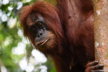 An adult orangutan up a tree, looking at the camera face,adult,close up,canopy,shallow focus,eyes,orangutan,ape,great ape,apes,great apes,primate,primates,jungle,jungles,forest,forests,rainforest,hominidae,hominids,hominid,Asia,Sumatra,Sumatran,Indones