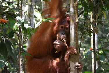 An orangutan hanging in a tree face,close up,canopy,shallow focus,eyes,orangutan,ape,great ape,apes,great apes,primate,primates,jungle,jungles,forest,forests,rainforest,hominidae,hominids,hominid,Asia,Sumatra,Sumatran,Indonesia,tro