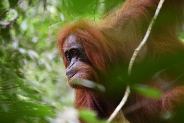 An adult orangutan up a tree face,adult,close up,canopy,shallow focus,eyes,orangutan,ape,great ape,apes,great apes,primate,primates,jungle,jungles,forest,forests,rainforest,hominidae,hominids,hominid,Asia,Sumatra,Sumatran,Indones