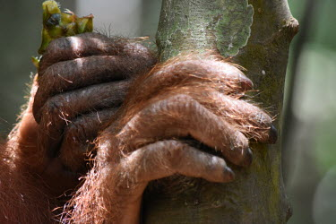 Close up of the hands of an orangutan hands,hand,fingers,finger,fingernail,fingernails,orangutan,ape,great ape,apes,great apes,primate,primates,jungle,jungles,forest,forests,rainforest,hominidae,hominids,hominid,Asia,Sumatra,Sumatran,Indo