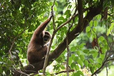 White-handed gibbon sat in the canopy lar gibbon,gibbon,gibbons,canopy,ape,apes,primate,primates,jungle,jungles,forest,forests,rainforest,Asia,Sumatra,Sumatran,Indonesia,tropical,mammal,mammals,vertebrate,vertebrates,arboreal,White-handed
