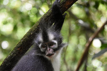 Face of a Northern Sumatran leaf monkey in a tree leaf monkey,monkey,canopy,monkeys,close up,face,bokeh,shallow focus,hair,mohican,mohawk,primate,primates,jungle,jungles,forest,forests,rainforest,Asia,Sumatra,Sumatran,Indonesia,tropical,mammal,mammal