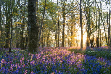 Bluebells in mixed woodland at sunrise Sunrise,dawn,sun,woodland,woods,forest,habitat,natural habitats,wildflowers,flowers,meadow,flower meadow,colour,colourful,purple,blue,bluebell,bluebells,bluebell forest,spring,UK,England,atmosphere,at