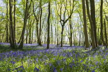 Bluebells in mixed woodland at sunrise Sunrise,sun,woodland,woods,forest,forests,habitat,natural habitats,wildflowers,flowers,meadow,flower meadow,colour,colourful,purple,blue,bluebell,bluebells,bluebell forest,spring,UK,England,trees,Blue