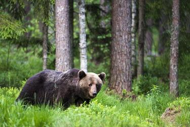 European brown bear stood in Scots pine forest Ursus arctos arctos,European brown bear,Scots pine,pine forest,Ida-Viru region,head,face,close-up,bear,bears,forest,forests,woods,woodland,omnivore,mammal,mammals,vertebrate,vertebrates,terrestrial,fu