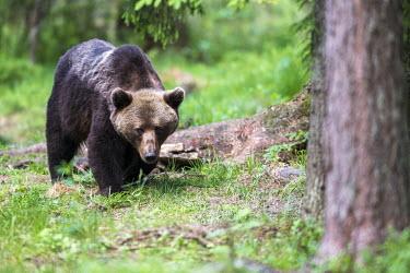 European brown bear walking through Scots pine forest Ursus arctos arctos,European brown bear,Scots pine,pine forest,Ida-Viru region,head,face,close-up,bear,bears,forest,forests,woods,woodland,omnivore,mammal,mammals,vertebrate,vertebrates,terrestrial,fu
