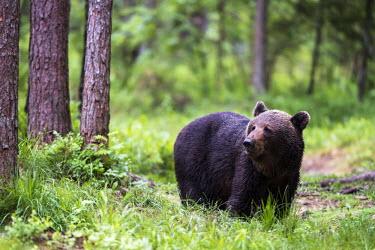 European brown bear close up Ursus arctos arctos,European brown bear,Scots pine,pine forest,Ida-Viru region,head,face,close-up,bear,bears,forest,forests,woods,woodland,omnivore,mammal,mammals,vertebrate,vertebrates,terrestrial,fu