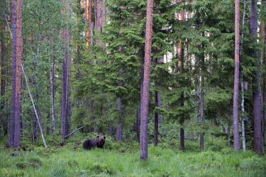 European brown bear in habitat Ursus arctos arctos,European brown bear,Scots pine,pine forest,Ida-Viru region,head,face,close-up,bear,bears,forest,forests,woods,woodland,omnivore,mammal,mammals,vertebrate,vertebrates,terrestrial,fu