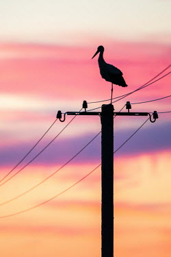 White stork on electricity pylon at sunset sunset,dusk,sky,colourful,colour,pylon,aves,stork,storks,electricity,bird,birds,silhouette,pretty,pink,peach,purple,conservation issues,threats,threat,White stork,Ciconia ciconia,Chordates,Chordata,St