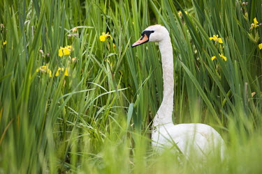 Mute swan (Cygnus olor) amongst yellow flag (Iris pseudacorus), Tartu region, Estonia swans,swan,bird,birds,birdlife,avian,aves,ponds,lakes,pond,lake,reeds,reed bed,wetland,green background,green,Mute swan,Cygnus olor,Aves,Birds,Chordates,Chordata,Waterfowl,Anseriformes,Ducks, Geese, S