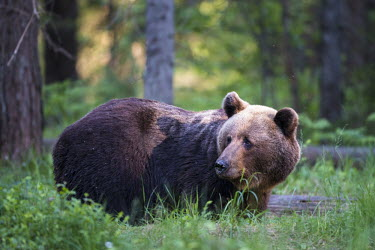 European brown bear close up Ursus arctos arctos,European brown bear,Scots pine,pine forest,Ida-Viru region,head,face,close-up,bear,bears,forest,forests,woods,woodland,omnivore,mammal,mammals,vertebrate,vertebrates,terrestrial,fu