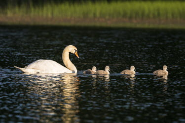 Mute swan with cygnets on lake swans,swan,bird,birds,birdlife,avian,aves,ponds,lakes,pond,lake,reeds,reed bed,wetland,cygnet,cygnets,chicks,chick,baby,babies,reed,habitat,reflection,negative space,green background,Mute swan,Cygnus