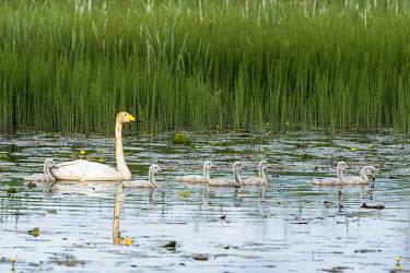 Whooper swans with cygnets in pond bird,birds,aves,swans,water,cygnet,cygnets,chicks,chick,baby,babies,reeds,reed,habitat,lake,Whooper swan,Cygnus cygnus,Waterfowl,Anseriformes,Chordates,Chordata,Ducks, Geese, Swans,Anatidae,Aves,Birds