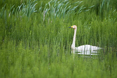 Whooper swan in thickly vegetated pond birds,bird,birdlife,swan,swans,water,rainy,rain,swimming,negative space,lake,pond,ponds and lakes,shallow focus,reeds,reed bed,wetland,Whooper swan,Cygnus cygnus,Waterfowl,Anseriformes,Chordates,Chord